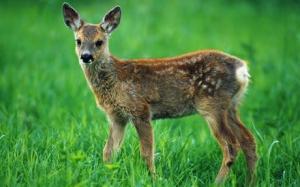 roe-deer_1748031c
