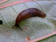Slug on leaf